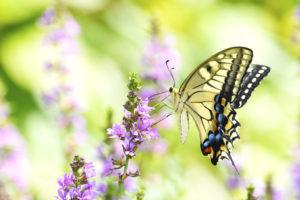 アゲハ蝶です