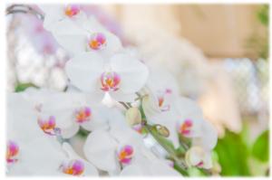 胡蝶蘭です